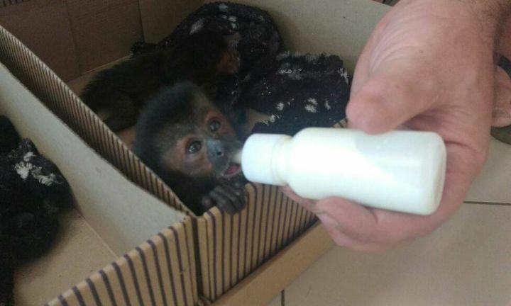 Casal é preso transportando macacos-prego na Castello Branco