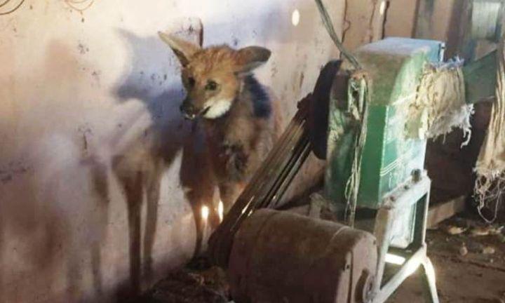 Bombeiros e PM capturam lobo-guará em sítio próximo a Itaí