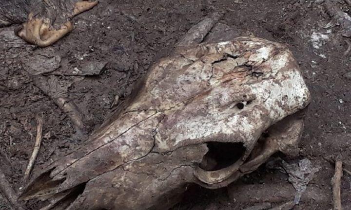 Polícia encontra cemitério de gado abatido clandestinamente