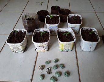 Polícia Civil descobre plantação caseira de maconha