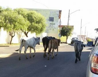 Internauta flagra bovinos andando em rua de Avaré