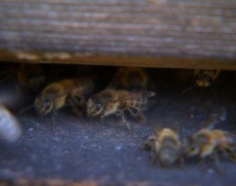 Morre idoso atacado por abelhas em Cerqueira César