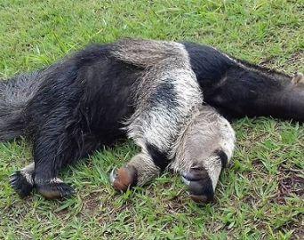 Animais estão morrendo atropelados na SP 245