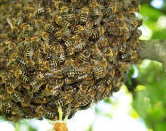 Idoso é atacado por abelhas e sofre mais de 2 mil ferroadas