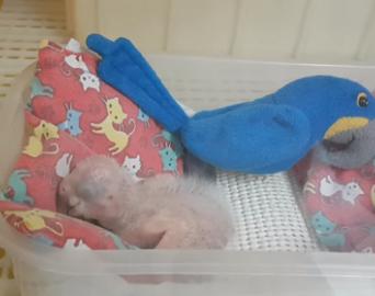 Zoo de São Paulo comemora o 15º nascimento da arara-azul-de-lear
