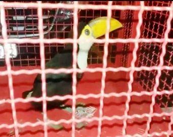 Filhote de tucano é capturado e entregue ao Corpo de Bombeiros