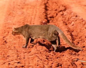 Gato selvagem é fotografado na zona rural de Avaré