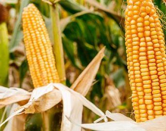 Faculdade Eduvale e Nutrien Ag Solutions promovem a 1ª Vitrine de Milho