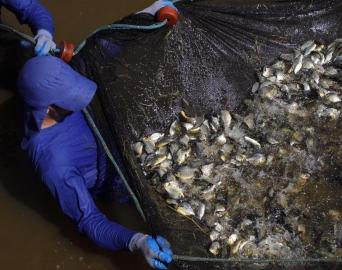 CTG Brasil solta 700 mil peixes no Rio Paranapanema